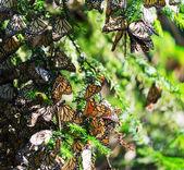 Monarca — Foto Stock