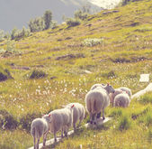 Sheep in Norway — Stock Photo