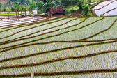 Rice terrace — Photo