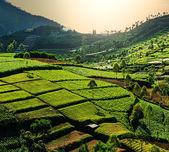 Field in Indonesia — Stok fotoğraf