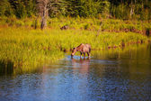 Moose on lake — Stock Photo