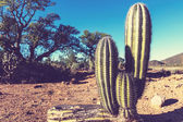 Cactus in Mexico — Stock Photo