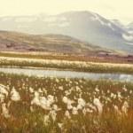 Arctic flowers — Stock Photo #48936873