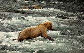 Bear on Alaska — Photo