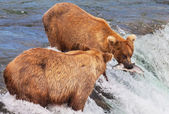 Bears in river — Stock Photo