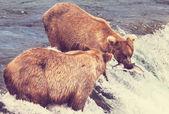 Bears on Alaska — Stock Photo