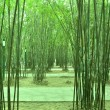The dense verdure bamboo forest with flourish foliage. — Stock Photo