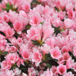 Image of full frame azalea plant in full bloom. — Stock Photo