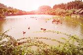 Dzikie gęsi pływanie w stawie — Zdjęcie stockowe