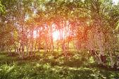 Birkenwald in der sonne morgen rosig. — Stockfoto