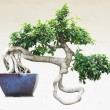 The Chinese banyan tree bonsai in ceramic pot. — Stock Photo #27329903