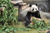Giant panda eating bamboo — Стоковое фото