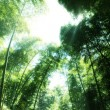 The flourish bamboo forest with glorious morning sunshine. — Stock Photo