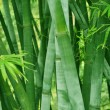 The verdure background of bamboo stalks and leaves. — Stock Photo