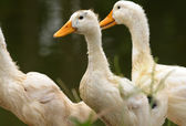 Three White Ducks in Grass — Stock Photo