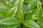 Green tea leaves — Stock Photo