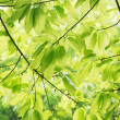 The verdure leaves in the spring sunshine. — Stock Photo
