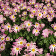 Stock Photo: Light purple chrysanthemum flowers background