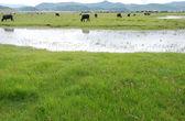 Cow feeding on the grassland — Stock Photo