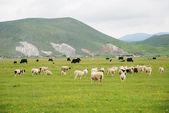 De kudde schapen op de heuvel grasland in hohhot, binnen-mongolië, noord-china. — Stockfoto