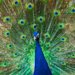 The peacock spreading colorful beautiful tail feathers. — Stockfoto