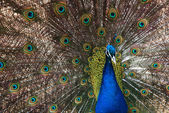 The peacock spreading colorful beautiful tail feathers. — Stock Photo