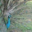 A male peacock flaunting its tail before the famle one. — Stock Video