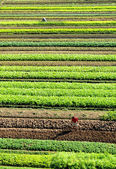 The field with green vegetables in the spring — Stock Photo