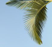The drooping green Cuban palm leave in the blue sky. — Stock Photo