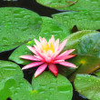 Foto Stock: Water lily flowers lying on verdure round leaves in spring rain.