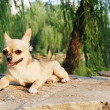 Chihuahua dog — Stock Photo #27906401
