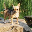 Chihuahua dog — Stock Photo #27906443