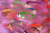 The colorful translucent tropical fishes swim in the clear water. — Stock Photo