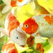 Red and gold fishes in aquarium — Stock Photo