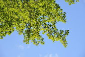 Pendant green leaves — Stock Photo