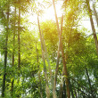 Flourish bamboo forest — Stock Photo