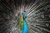 Portrait of beautiful peacock with feathers out — Foto de Stock