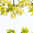 Stock Photo: Pendant green leaves