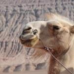 The camel head — Stock Photo