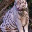 Tiger slickar — Stockfoto