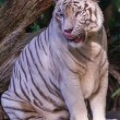 Tiger lecken — Stockfoto #29470971