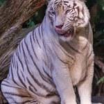 Tigre lamiendo — Foto de Stock
