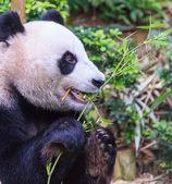 Hungry Panda — Stock Photo