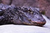 Yangtze Alligator — Foto de Stock