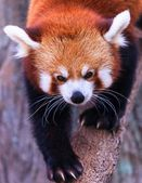 A red panda exploring its territory. Red pandas are listed as a vulnerable species on the endangered animals list. — Stock Photo