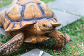 Tortoise Golden — Stock Photo