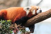 Red Panda Lazing — Stock Photo