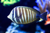 Sailfin Tang — Stock Photo