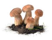 Funghi porcini in terra — Foto Stock