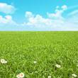 Green field and camomile — Stock Photo